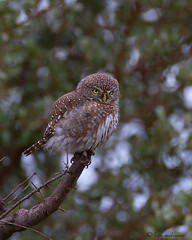 Pearl-spotted Owlet (leendert3) Tags: pearlspottedowlet ngc npc sunrays5 coth5