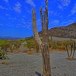 Cholla Cactus thumbnail