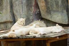 IMG_0622.jpg (wfvanvalkenburg) Tags: ouwehandsdierenpark familie lion