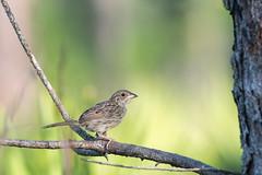 Baby Bachman's (Melissa James Photography) Tags: peucaeaaestivates bachmanssparrow sparrow florida threatenedspecies longleafpine forest bird secretive nikond500 nikon300f4