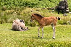 A tentative step (Keith in Exeter) Tags: tentative step foal pony devon dartmoor nationalpark landscape grass rushes bracken fern ruins animal young outdoor sweet lovable adorable cute delightful