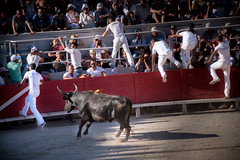 French bull fighters fleeing a mighty bull