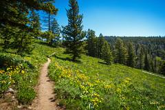 Wildflowers along the trail to Ski Lake (scepdoll) Tags: skilake philipscanyon wyoming jackson wildflowers hike arrowleafbalsamroot