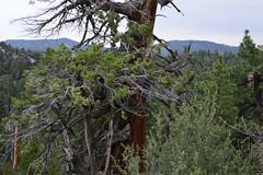 DSC_0338 (Six Sigma Man (2.700.000 views)) Tags: bigbear california bigbearlake cougarcresttrail nikon nikond3200