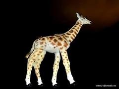 Girafe - Giraffe (5) (artiste24artiste241) Tags: girafe safari jungle sauvage zoo savane parc réserve mammifère