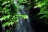 Momiji (Yorkey&Rin) Tags: 7月 2017 em5markii freshgreenleaves japan july kanagawa momiji olympus olympusmzuikodigitaled1250f3563ez rainyseason rin ua010017 waterfall yugawara もみじ゙ 滝 湯河原 梅雨 万葉公園