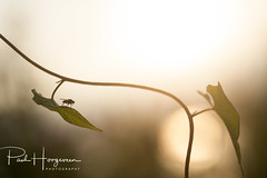 Solitude (PaulHoo) Tags: nature macro dof bokeh detail closeup nikon d700 2017 fly insect solitude loneliness leaf backlit light illuminated sun silhouette