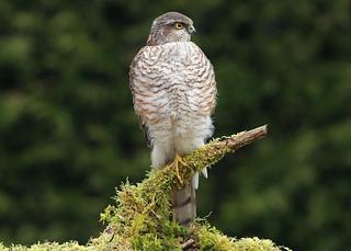 SPARROWHAWK....female....Powys....look on large.