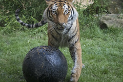 Das ist meine Kugel .... (DeanB Photography) Tags: 7dmkii affen animals canon eisbär hannover tier tiere tierpark tierwelt tiger wild wildpark zoo zoohannover animal ef100400 gefährlich