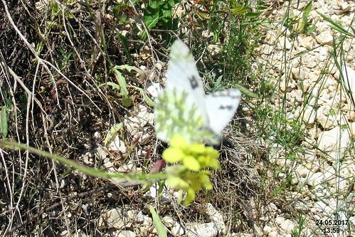 Eastern dappled white (Vol)