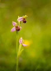 Bee Orchid (Peter Quinn1) Tags: beeorchid orchid milersdalenaturereserve derbyshirewildlifetrust derbyshire millersdale