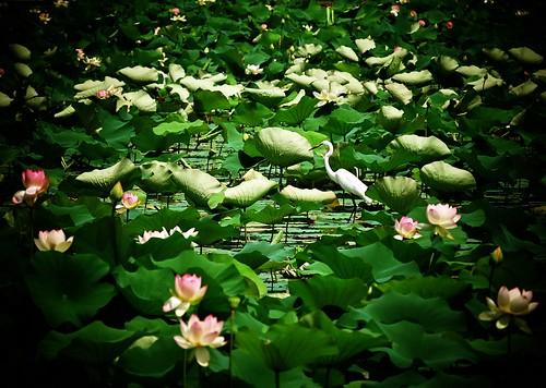 Heron in the lotus pond