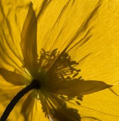 Sun soaker (OzzRod) Tags: pentax k1 smcpentaxdfa100mmf28macroltd plant flower poppy yellow backlit shadows petals square gregson hamilton dailyinjuly2017 pentaxart