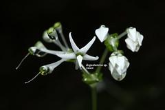 Argostemma sp. (Zaharil/ Texas) Tags: argostemmasp rubiaceae plant flora angiosperm herb flower flowerbud close–up nature biodiversity forest boulderrock tropical notevaluatediucnredlist peninsularmalaysia westmalaysia southeastasia