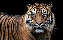 Sumatran tiger portrait - CLK (asterix_93) Tags: portrait color jungle cat background animal black head hunt zoo wildlife danger big wild staring predator hunter tiger safari stripe angry mammal feline carnivore panthera sumatran sumatrae tigris
