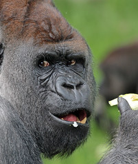 Bokito Blijdorp JN6A9045 (joankok) Tags: gorilla bokito blijdorp westelijkelaaglandgorilla westernlowlandgorilla laaglandgorilla lowlandgorilla aap ape monkey mensaap africa afrika zoogdier dier animal zilverrug silverback