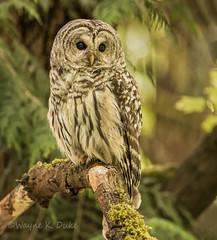 ND5 0113 Barred Owl Bowen Park (Wayne Duke 76) Tags: owlet barredowl raptor feathers talons