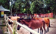 https://foursquare.com/v/animal-farm/50a1e092e4b0033f82b409b0 #holidays #travel #garden #green #nature #Asian #Malaysia #selangor #shahalam #度假 #旅行 #大自然 #绿色 #公园 #亚洲 #马来西亚 #雪兰莪 #沙阿南 #外景 #outdoor #animalpark #动物园