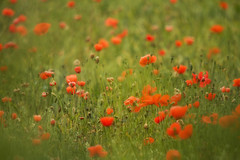 Papaver Rhoeas (Wayne Molyneux) Tags: papaverrhoeas red poppies kidderminster wolverhampton uk a449 worcestershire worcs