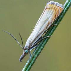 Snout moth (andre de kesel) Tags: snoutmoth grassland crambidae crambus lepidoptera macro insect fieldstack zerenestacker sonya6500 canonef100mm128lisusm metabonescanoneftosonyesmartadaptermarkiv