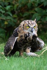 the hunter (barbara carroll) Tags: greathornedowl bubovirginianus desertbirds tucsonarizona owl