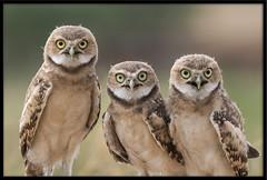 Burrowing Owlet Siblings (Lee_Marcus) Tags: owl owlet owlchick owlbaby owlfledgling burrowingowl burrowingowlet athenecunicularia birdofprey raptor