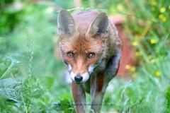 Walk On By......... (law_keven) Tags: fox foxes catford london england gardens mammals vixen vulpes vulpesvulpes