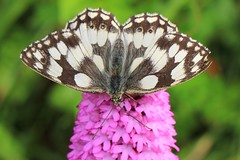 Marbled White on Pyramidal orchid - Swifts Hill WT reserve Gloucs -270616 (2) (ailognom2005) Tags: swiftshillwtreserve naturereserves wildlifereserves wildlifetrust gloucestershire marbledwhite butterflies butterfliesmothsandcaterpillars insects britishwildlife britishinsects macro