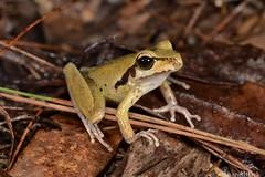 Northern Stoney Creek Frog (Litoria jungguy) (shaneblackfnq) Tags: northern stoney creek frog litoria jungguy shaneblack julatten fnq far north queensland australia tropics tropical