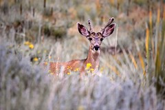 """Morning Walk:  Curious Young Mule Deer Buck (with """"Spike"""" Antlers, or First Set) (Ginger H Robinson) Tags: morning walk sunrise rain curious young muledeer deer buck velvet antlers spike colorado frontrange summer flowers yuccas cacti mullein minerscandles grass outdoors wildlife nature"""