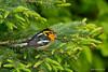 "Blackburnian Warbler (Earl Reinink) Tags: bird nature earl reinink ""earl reinink"" nikon d5 600mm warbler ""northern ontario"" spring wingsinmotion migration naturephotograhy birdphotograpy blackburnianwarbler duotatodia blackburnian"