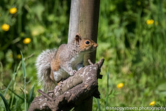 forest farm cardiff (snappystreets.photography) Tags: squirel forestfarm 2017