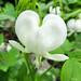 White Bleeding Heart - Coeur saignant blanc