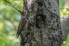 Northern Flicker (sklachkov) Tags: flicker northernflicker feedingthebirds bird birds woodpecker