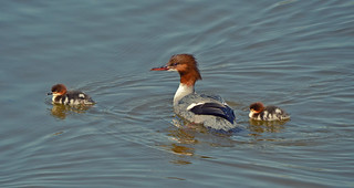 Happy family. Goosander with the ducklings... #Helsinki #Finland #Spring