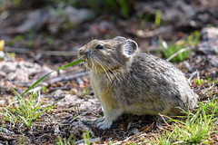 Green Noodle (jrlarson67) Tags: american pika animal nature wildlife rodent furry critter whiskers yellowstone nationalpark wyoming nikon d810 600mmf4