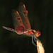 Calico Pennant - Celithemis elisa, Braley Pond, George Washington National Forest, Virginia