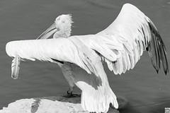 Federschatten (auschmid) Tags: auschmid slta99 sal135f18z sw bw an bn tierpark dählhölzli bern schweiz tier pelikan krauskopfpelikan pelecanus schatten feder sonnart18135 za nature