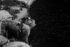 Hydrophobic baby (grundi1) Tags: sony alpha 68 ilca japanmakaken landskron kärnten carinthia f sigma 2845 ds 1770 f2845 dc schwarz macro schwarzweis scharz weis black white bw blackandwhite