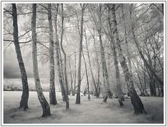 Birches (adam_pierz) Tags: birch trees infrared panasonicg5 micro43 microfourthirds virginiawater woodland