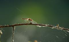 Red-veined darter 2 (Bojan Ž.) Tags: redveineddarter sympetrumfonscolombii animal wildlife