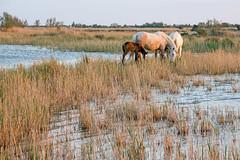 Scène de Camargue 11 (Xtian du Gard) Tags: camargue cheval chevaux goldenhour poulain horse foal landscape waterscape nature xtiandugard