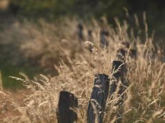 Licht (ISOZPHOTO) Tags: licht light gräser grasses zaunpfosten posts isoz olympus zuiko schärfentiefe depthoffield dof ft e620 esystem natureart naturart spiegelreflex fourthirds dslr olympuse 2017 nature natur outdoor outofnature out lighting goldenhour goldenestunde oly wiese meadow rural ländlich 43 pov pointofview art gras grass backlight creative fence zaun