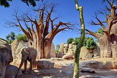 Somewhere in Africa (gerard eder) Tags: world travel reise viajes europa europe españa spain spanien valencia africa bioparc zoo zoologico tierpark tiergarten animals elefant elephant savanna outdoor natur nature naturaleza naturschutzgebiet nationalpark nationalreserve natural