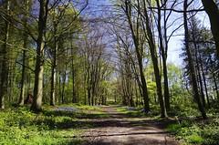 Early spring (Sundornvic) Tags: spring path trees bluebells sky sun shine nature shropshire green blue woods way footpath walking