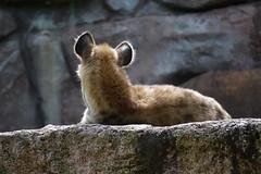 Sunbath (brittneyhatton) Tags: zoo toronto hyena spotted animals animal outdoors nature nikon
