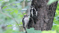 Hairy Woodpecker Couple (blazer8696) Tags: 2015 brookfield ct connecticut ecw obtusehill t2015 usa unitedstates bird couple female hairy hairywoodpecker img0782 male picidae piciformes picoides picoidesvillosus villosus woodpecker