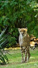 The Hunter (Setsukoh) Tags: guépard cheetah acinonyxjubatus hunter chasseur félin fauve bigcat mammal mammifère animal parcanimalier zoo zoodelaflèche sarthe paysdelaloire france frankreich cat chat spotted tacheté green vert environnement environment chasse hunt