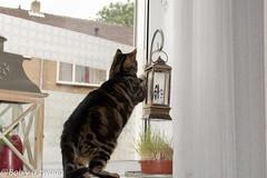 _DSC0024 (bob.vanderzwaag) Tags: milica kat cat raam