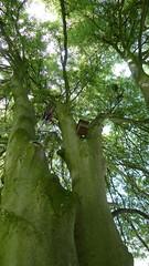 Laciniata (arborist.ch) Tags: baumpflege baum baumklettern buche arborist arboriculture treeclimbing